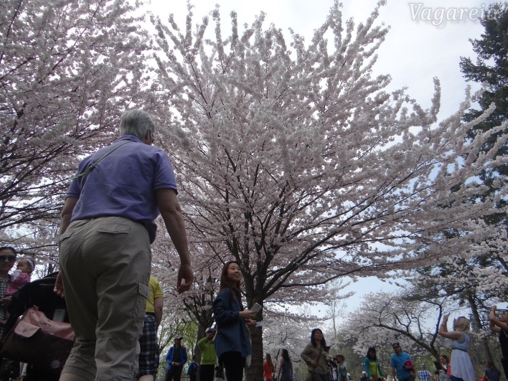 watermarked-Vagareio - cherryblossoms 1